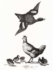 Chickens and a duck by Johan Teyler (1648-1709). Original from the Rijks Museum. Digitally enhanced by rawpixel. (Free Public Domain Illustrations by rawpixel) Tags: otherkeywords animal antique art avian baby beak beautiful beauty bird chick chicken cock decor decoration decorative design drawing duck elegance feather feathers fly flying fowl hen illustrated illustration johanteyler life livestock mallard name natural nature old ornithology painting plumage plume poultry retro single species standing vintage waterbird wild wildlife wing wings