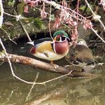 Wood Ducks thumbnail