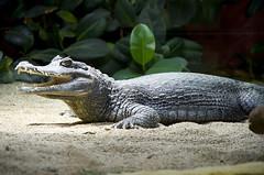 Krokodil (Jan Wasmund) Tags: krokodil crocodile reptil zoo zahn zähne teeth tooth schuppen tierpark sand dunkel darkness dark neuwied
