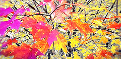 when leaves become vibrant color anything is possible (Marianne Kuzmen) Tags: leavesofautumn leaves leaf tree branches branch conceptualart orange red yellow brown autumn fall vintage samsung samsunggalaxy sky daylight outdoors trees art intrepretation impressionist colorandshape foilage nature sun light interesting maple sugarmaple