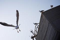 Seagulls 06 (pan_orama) Tags: marokko maroc morocco essaouira beach harbour seagulls fish sun color travel