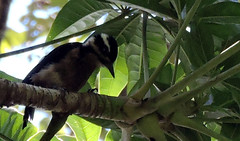 Hairy Woodpecker, Leuconotopicus villosus (asterisktom) Tags: trippanamacostarica2018 2018 panama september boquete quetzaltrail hairywoodpecker leuconotopicusvillosus woodpecker bird vogel ave 鸟 птица 鳥 pajaro