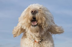 44/52 ... A breezy afternoon at the beach (Chickpeasrule) Tags: evie goldendoodle ears face flapping sky blue sandy fur nose 52weeksfordogs
