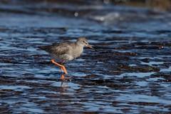 Redshank 3 (digiphill) Tags: 2018 autumn bamburgh coast coastal northeast northeastcoast northumberland northumberlandcoastaonb redshank september sigma150600mmsport tringatotanus wadingbird wildbirds wader