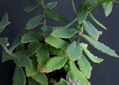 Hylotelephium 'Pure Joy' (Nessy apprentie en rangement) Tags: succulent sedum hylotelephium crassulaceae agl