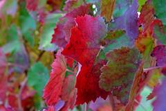 red (♥iana♥) Tags: vino uva grape vendemmia autunno autumn fall rosso red vite vigna grapevine montemarano avellino campania italia