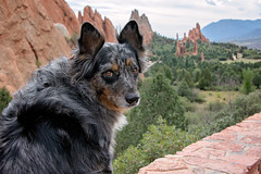 38/52 Weeks of Finn {Explore 9/23/2018} (Raquel Robison) Tags: 52weeksfordogs 52weekoffinn dogs gardenofthegods coloradodog