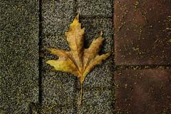 fall(en) leaf !!! (yasin.orhan) Tags: autumn fall leaf