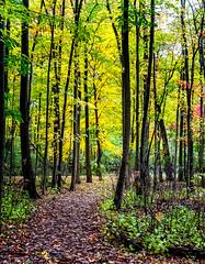 Golden Morning (Portraying Life, LLC) Tags: hddfa5014 k1mkii michigan pentax ricoh unitedstates closecrop handheld nativelighting fallcolor woodlot leaves