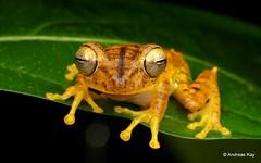 Almendariz's treefrog, Hypsiboas almendarizae (Ecuador Megadiverso) Tags: almendarizstreefrog amazon amphibian andreaskay anura crypticsisterspeciesofhypsiboasfasciatus ecuador frog hylidae hypsiboasalmendarizae hypsiboasfasciatus rainforest tamanduareservaflores