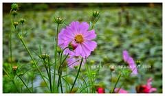 Flower (Meraj.) Tags: nature ooty flickraward nikond5300 d5300 photography pink green dslr nikon flickrcentral flower beautiful