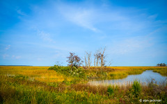 A Fall Afternoon at Bombay Hook (alan jackman) Tags: alanjackman jackmanonjazz bombayhook bombayhookwildlifenationalrefuge delaware doverdelaware sandpiper bird wetland nikond7000 d7000 marsh grass land grassland water wet tree sky cloud nature