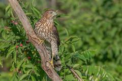 Cooper,s Hawk (Joe Branco) Tags: tree photoshop ontario birds grass nikond850 wildlifephotography canada joebrancophotography coopershawk macro flower green