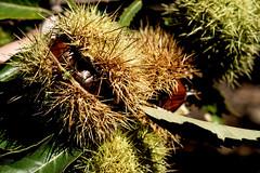 Frutos de Otoño (ameliapardo) Tags: otoño castañas frutas macro castañodelrobledo huelva andalucía españa fujixt2 leica60macromanual