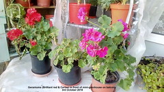 Geraniums (Brilliant red & Cerise) in front of mini-greenhouse on balcony 3rd October 2018 (D@viD_2.011) Tags: geraniums brilliant red cerise front minigreenhouse balcony 3rd october 2018