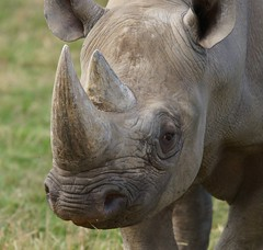 Yorkshir Wildlife Park..27.09.2018 009 (Andrew Burling (SnapAndy1512)) Tags: yorkshirwildlifepark27092018 yorkshirewildlifepark yorkshire blackrhino rhino animals zoo