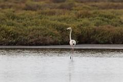 IMG_0758 Flamenco (Fernando Sa Rapita) Tags: baleares canon canoneos eos200d estrenc mallorca naturalpark parcnatural parquenatural sessalinas tamron tamron150600 ave bird flamenco flamingo pajaro teleobjetivo