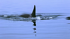 Orca-Finne (blacky_hs) Tags: killerwal killer whale orca pacific vancouver island canada kanada alert bay queen charlotte strait queencharlottestrait orcinus orcinusorca rückenflosse schwertwal schert finne