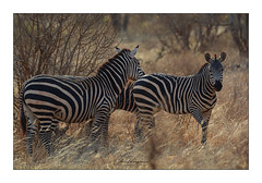 Zèbres des plaines Tsavo Ouest Kenya (Claire PARMEGGIANI Photos) Tags: africa africangallery africanlife africanwildlife eastafrica gamedrive kenya safari tsavo wildlife wildafrica zebra