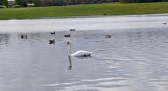 in der Rheinaue (mama knipst!) Tags: rheinaue schwan swan wasservogel waterbird bird vogel natur oktober