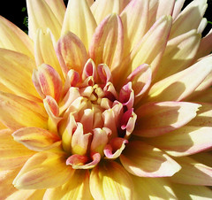 """Shea's Rainbow"" (Puzzler4879) Tags: flower flowers dahlia dahlias sheasrainbow dahliasheasrainbow dahliacloseups dahliascloseup flowerscloseup flowercloseups a580 canona580 canonpowershota580 powershota580 canonpowershot powershot canonphotography canonpointandshoot pointandshoot"