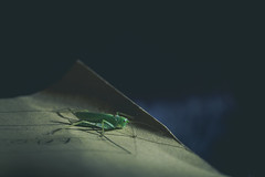 Let's play a little ... cricket (music_man800) Tags: cricket green insect insects bug bugs house nature flora fauna wildlife animals animal being creature creepy crawly bush yellow folder indoors inside antennae legs beautiful essex uk united kingdom night light lighting ambient dull dark blue hour bed canon 700d adobe lightroom creative cloud edit photography sigma 150mm macro lens focus prime sharp