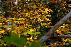 Table Rock Fork, Molalla River in autumn (BLMOregon) Tags: blm bureauoflandmanagement molalla river landscape recreation hiking corridor autumn fall trees color vine maple acer circinatum tablerock fork