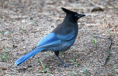 Steller's Jay -- First-year (Cyanocitta stelleri); Santa Fe NF, NM, Thompson Ridge [Lou Feltz] (deserttoad) Tags: bird wildbird nature newmexico nationalforest mountains tree jay young outdoorsl
