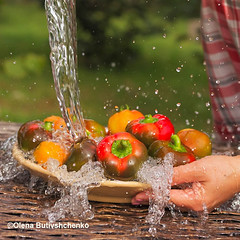web-Peppers-and-tomatoes-are-washed---i (stok-1707) Tags: pepper crop water summer autumn bright red orange ripe juicy village garden outdoor