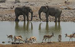 Elephants and springbok (nisudapi) Tags: 2018 africa namibia etosha etoshanp nationalpark wildlife elephant springbok symmetry africanelephant reflection