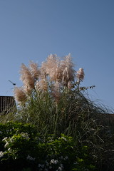 DSC_1877 (PeaTJay) Tags: nikond750 reading lowerearley berkshire gardens outdoors nature flora fauna plants flowers trees shrubs bushes foliage