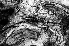 stump face (Francis Mansell) Tags: wood tree stump texture dead kew kewgardens royalbotanicgardenskew monochrome blackwhite niksilverefexpro2 plant
