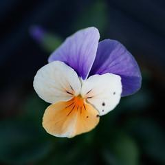 Fleur de pensée tricolore (gaillardou) Tags: serres municipale toulouse fleur plante automne feuille flower plant green culture plantation