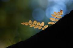 On the edge of fall.. (Bomonsted) Tags: bokeh bokehlicious carlzeiss apo sonnar 135mmf2 aposonnart2135