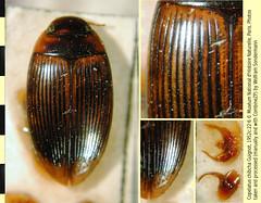 Copelatus chibcha Guignot, 1952:22. Syntype housed at the Museum National d'Histoire Naturelle (Paris). Habitus, dorsal, elytra, details, and genitalia (bottom right). (Wolfram Sondermann) Tags: costarica alajuelita alajuela sanantonio ciruelas taxonomy:order=coleoptera adephaga dytiscoidea taxonomy:family=dytiscidae copelatinae taxonomy:binomial=copelatuschibcha museumnationaldhistoirenaturelle habitus dorsal