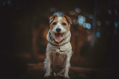 Happy Sunday (moaan) Tags: kobe hyogo japan jp dog jackrussellterrier kinoko face smileyface happy happysmile walk stroll woods forest portrait dogportrait outdoors focusonforeground selectivefocus bokeh bokehphotography canon canonphotography canoneos5dsr ef50mmf14usm utata 2018