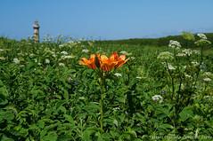 Flowers and lighthouse (Tatters ✾) Tags: sakhalin russia wildflowers liliumdahuricum lilium liliaceae orangeflowers