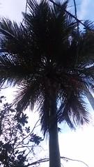 Juania australis, the Chonta palm (sftrajan) Tags: southamericagarden juania palmtree strybingarboretum botanicalgarden sanfranciscobotanicalgarden sanfrancisco jardinbotanico juaniaaustralis chontapalm arecaceae