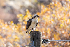 October 12, 2018 - Juvenile Osprey enjoying a fall day. (Tony's Takes)