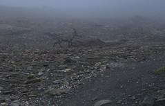 un merveilleux moment... (bulbocode909) Tags: valais suisse valdesdix cabanedesdix bouquetins montagnes nature brouillard rochers sentiers