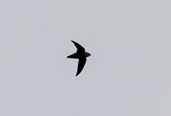 7K8A8143 (rpealit) Tags: scenery wildlife nature state line lookout chimney swift bird