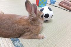 Ichigo san 1384 (Ichigo Miyama) Tags: ichigo san 1384いちごさん ichigo sanrabbit bunny cute netherlanddwarf brown ネザーランドドワーフ ペット うさぎ 小動物 ウサギrabbit いちご ウサギ