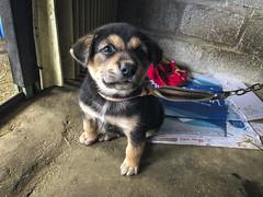 IMG_6148 (BisonAlex) Tags: 越南 vietnam sapa 沙壩 健行 trekking mountain rain could kid peoplelife dog market wood