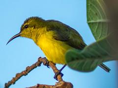 olive backed sunbird (female) (alpha.zork) Tags: vintage lens vintageglass vintagelens nikkor bird sunbird olivebackedsunbird birding ornithology 300mm nikkored300mmf45 nikkor300mm nature naturephotography
