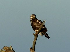 Buzzard (Rough-legged) 21.10.18 (ericy202) Tags: buzzard perch sky roughlegged adult female titchwellrspb