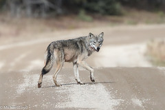 Timber Wolf (mobull_98) Tags: timberwolf graywolf wolf manitoba