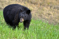 Yearling Black Bear cub (Ursus Americanus)  -  (Selected by GETTY IMAGES) (DESPITE STRAIGHT LINES) Tags: nikon d800 nikond800 nikkor200500mm nikon200500mm nikongp1 paulwilliams despitestraightlines flickr gettyimages getty gettyimagesesp despitestraightlinesatgettyimages bear blackbear adultblackbear wildanimal wildbear claws paw paws fur nature mothernature ursusamericanus animalia carnivora prophetriver muskwa ilobsterit