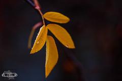 Tropfenblatt I (Betrachtungsweisen) Tags: 2018 leaf sigma105mm tropfen canon blatt regen eos77d natur nature waterdrops
