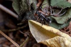 Spider Hunter, Pt. 5 - _TNY_5821 (Calle Söderberg) Tags: macro canon canon5dmkii canonef100mmf28usmmacro canoneos5dmarkii 5d2 canon5dmarkii flash meike mk300 glassdiffusor raynox dcr250 wasp spider crabspider thomisidae arachnida araneae xysticus audax krabbspindel brynkrabbspindel black brown stekel vägstekel dipogon variegatus spindel reversedroles pompilidae vedvägstekel aspvägstekel pompilidwasp pepsinae spiderwasp catch babyfood spiderhunter blackwasp predator paralyze paralyzed victim dragging carrying