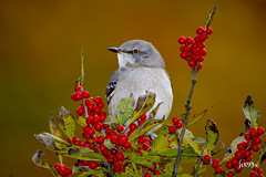 Northern Mockingbird (jt893x) Tags: 150600mm bird d500 jt893x mimuspolyglottos mockingbird nikon nikond500 northernmockingbird sigma sigma150600mmf563dgoshsms songbird thesunshinegroup coth alittlebeauty coth5 sunrays5 ngc
